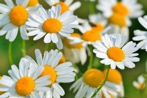 manzanilla-flor